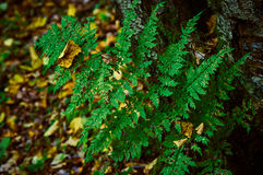 Gałąź paproć w jesień lesie Obrazy Stock