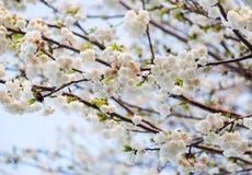 Gałąź pełno białych małych kwiatów nieprzezroczysty tło Fotografia Royalty Free