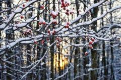 gałąź piękna natury światła słonecznego czerwonej jagodowej zimy dnia śnieżny zimny zakończenie Zdjęcia Royalty Free