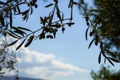 Gałąź piękny drzewa oliwnego ulistnienia przedpole pokazuje i bielu obłoczny tło na świetle słonecznym owoc i liście z niebieskim obraz royalty free
