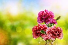 Gałąź piękny kwiatu goździk Zdjęcie Stock