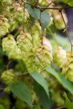 Gałąź podskakuje Rożki z sunbeams zielone liście Zdjęcie Stock