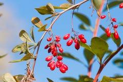 Gałąź pospolity berberys pospolity na nieba tle Europejskie berberysowe czerwone owoc zdjęcie stock