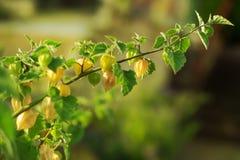 Gałąź przy doniczkową rośliną z świeżą dojrzałą zielenią i żółtymi Andyjskimi jagodami przy krzakiem fotografia royalty free