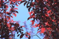 Gałąź purpurowego liścia śliwkowy drzewo na tle niebieskie niebo zdjęcia royalty free