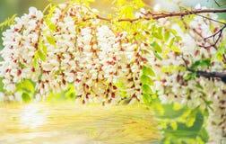 Gałąź puszysta biała akacja zdjęcie stock