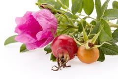 Gałąź Różany biodro na białym tle Zdjęcia Stock