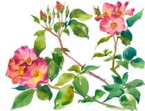Gałąź róże royalty ilustracja