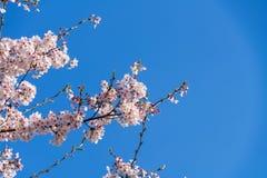 Gałąź różowy czereśniowy okwitnięcie na niebieskim niebie Obrazy Stock