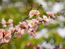 Gałąź różowy czereśniowy okwitnięcie w Japonia Zdjęcie Stock
