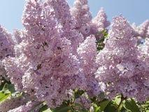 Gałąź różowy lily sezonowy okwitnięcie ogródu zakończenie nieba tło fotografia stock