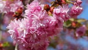 Gałąź Sakura drzewo zbiory