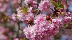 Gałąź Sakura drzewo zbiory wideo