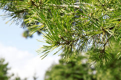Gałąź sosna (Pinus Sylvestris) Obrazy Stock
