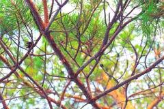 Gałąź sosna w jaskrawym świetle fotografia royalty free