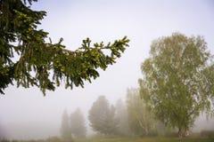 Gałąź sosnowy lub świerkowy zakończenie w mgłowej pogodzie Zdjęcia Stock