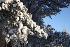 gałąź sosny śnieg Obraz Stock