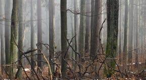 Gałąź spadać drzewo w mglistym lesie Zdjęcie Royalty Free