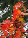 Gałąź spadków liście klonowi Zdjęcia Stock