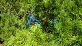 Gałąź Syberyjski sosnowy cedr zbiory