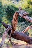 gałąź target2098_0_ lampartów gorących kłamstwa ma cieni słońca drzewa Zdjęcie Stock
