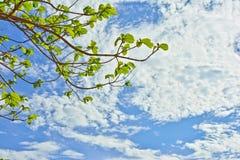 Gałąź Tekowy drzewo z nieba tłem Fotografia Royalty Free