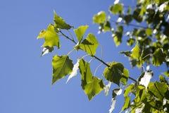 Gałąź topola z zielonymi liśćmi Zdjęcia Stock