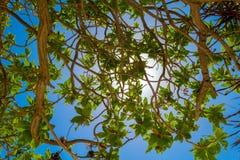 Gałąź tropikalni drzewa z zielonymi liśćmi przed jaskrawym s Zdjęcie Stock