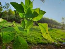 Gałąź, trzony i bael liście pigw drzewa obraz royalty free