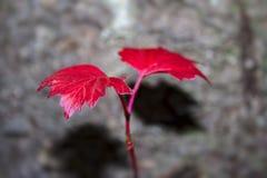 Gałąź viburnum z czerwonymi jesień liśćmi zdjęcie royalty free