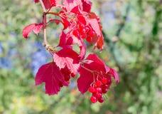 Gałąź viburnum z jesieni jagodami i liśćmi Zdjęcia Royalty Free