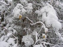 Gałąź w śniegu obraz stock