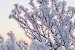 Gałąź w hoar oszroniejącym na zimnym ranku Obrazy Royalty Free