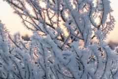 Gałąź w hoar oszroniejącym na zimnym ranku Obrazy Stock
