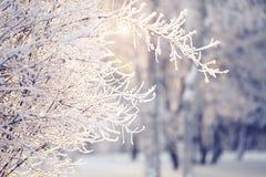 Gałąź w hoarfrost i śniegu, zaświecają z słońcem Obrazy Stock