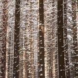 Gałąź w zimie Obraz Royalty Free