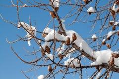 Gałąź w zimie Fotografia Stock