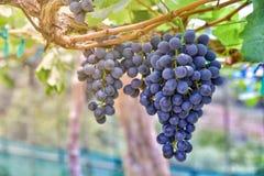 Gałąź winogrona r w ogródzie duży czerwonego winogrona dorośnięcie Natura Zdjęcie Stock