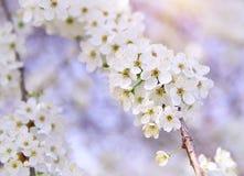 Gałąź wiosna bielu drzewo obrazy stock