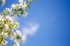 Gałąź wiosny jabłoń z białymi kwiatami, kwitnący tło Zdjęcia Royalty Free