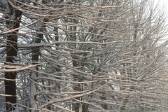Gałąź z śniegiem Obraz Royalty Free