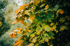 Gałąź z żółtymi liśćmi Zdjęcia Royalty Free