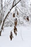 Gałąź z żółtymi liśćmi pod śnieżną zimą Fotografia Stock