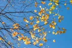 Gałąź z żółtymi liśćmi przeciw niebieskiemu niebu zdjęcie stock