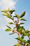 Gałąź z białymi jagodami Fotografia Stock