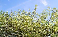 Gałąź z białymi kwiatami na niebieskiego nieba tle Obrazy Stock