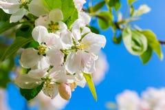 Gałąź z białymi kwitnącymi jabłko kwiatami Obraz Royalty Free