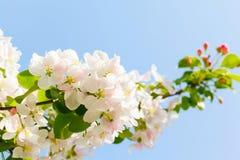 Gałąź z białymi kwitnącymi jabłko kwiatami Zdjęcia Royalty Free