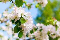 Gałąź z białymi kwitnącymi jabłko kwiatami Fotografia Royalty Free