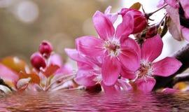 Gałąź z brzoskwinią kwitnie zakończenie z odbiciem w wodzie Obrazy Royalty Free